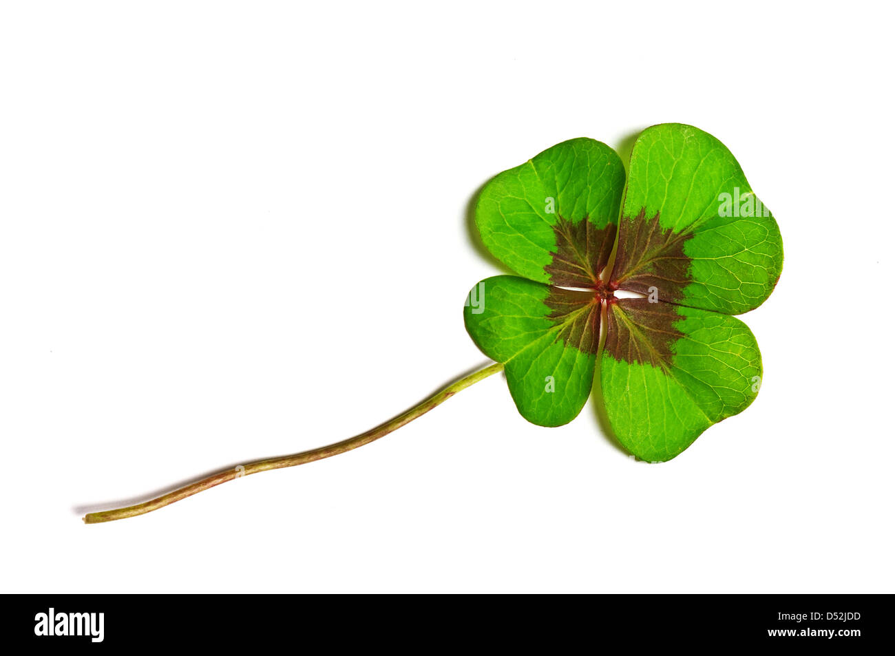 green clover isolated on white - Stock Image