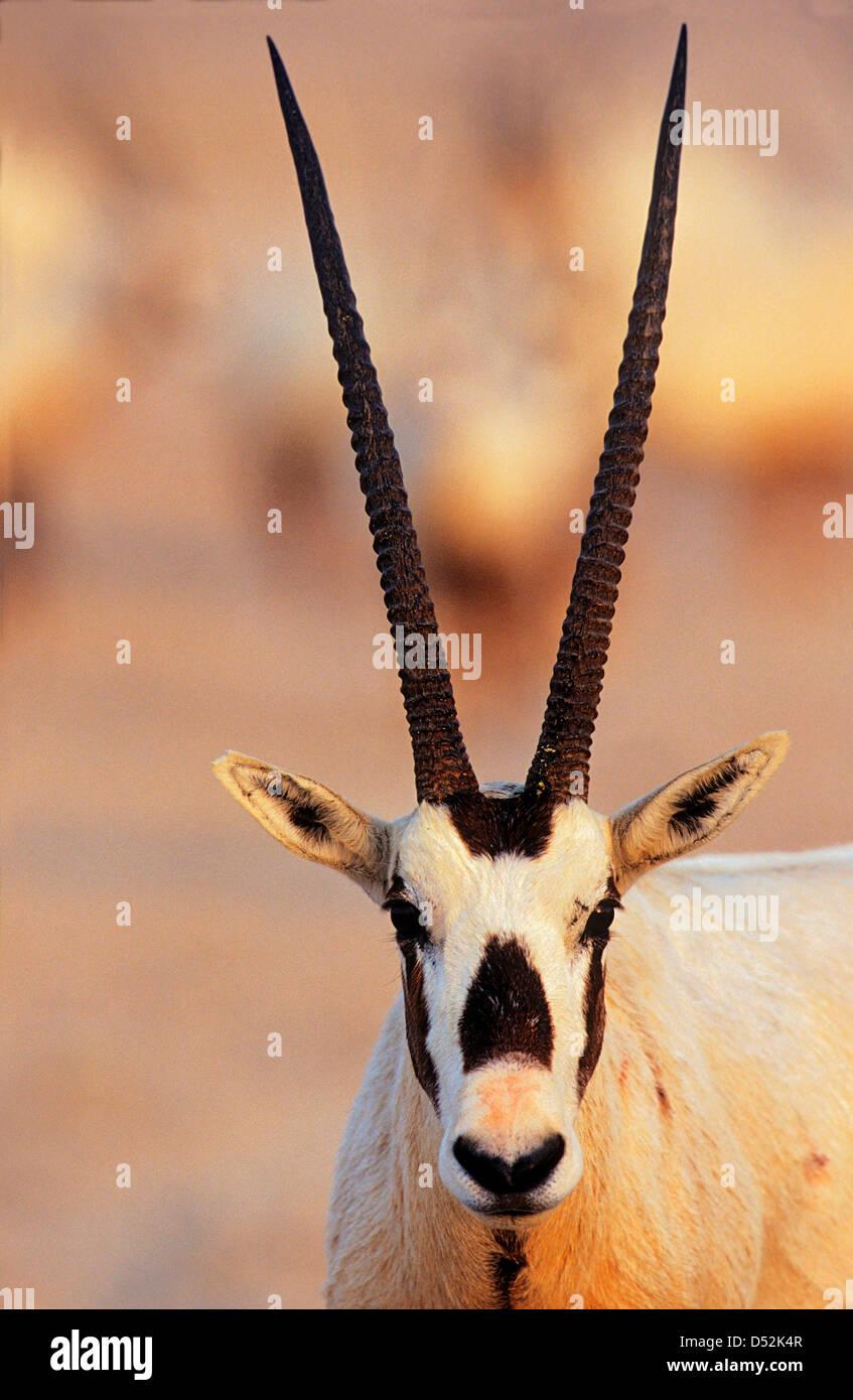 Arabian Oryx (Oryx leucoryx) on Sir Bani Yas Island, United Arab Emirates. - Stock Image