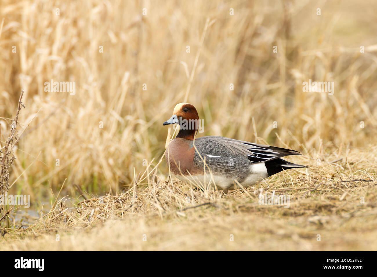 Wigeon. Anas penelope (Anatidae) - Stock Image