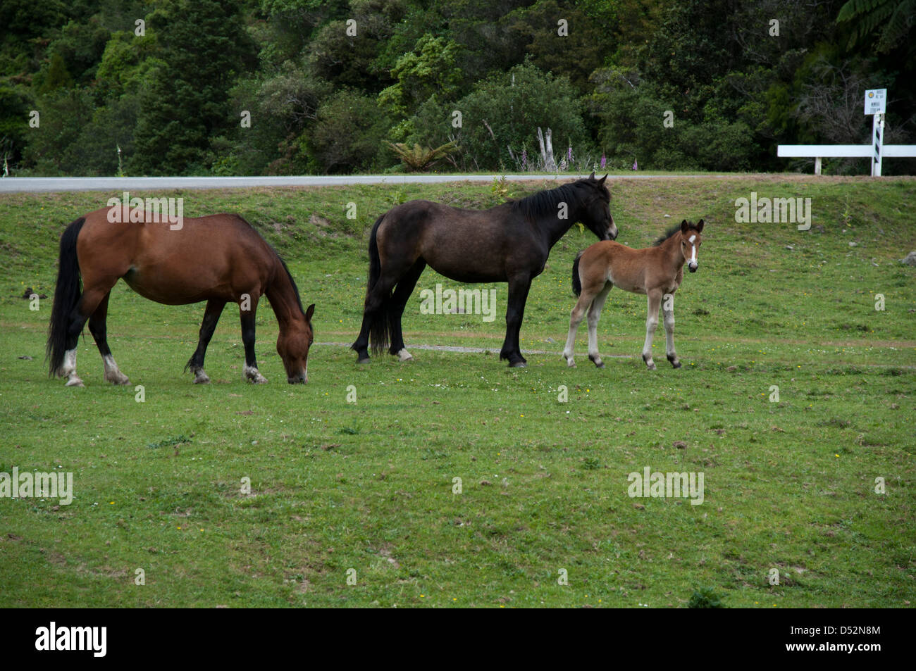 Horses with a foal grazing on a pasture near State Highway 38 in New Zealand's Bay of Plenty region.  Pferde - Stock Image