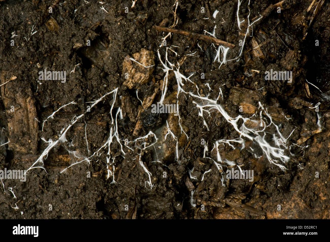 Branching threads of fungus mycelium in organic soil - Stock Image
