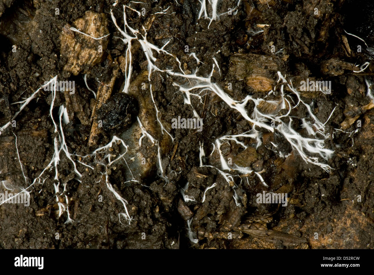 Mycelium threads are what How to grow a mycelium at home