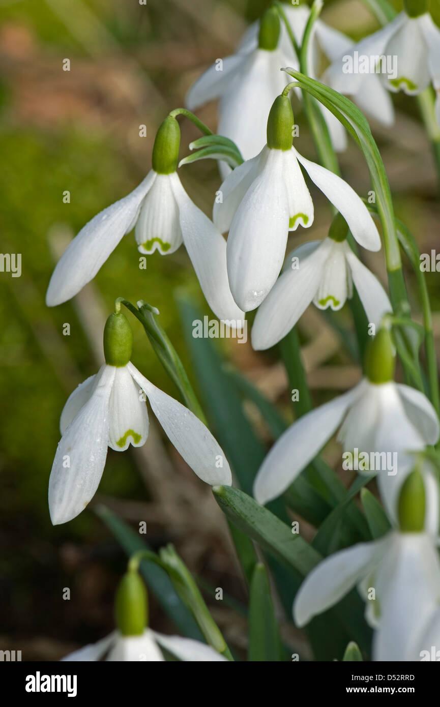 Snowdrops, Galanthus nivalis, flowering in light woodland in Devon - Stock Image