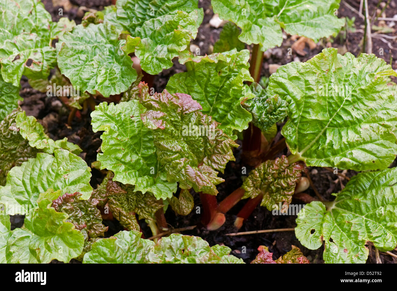 Young rhubarb shoots in late winter as plant emerges from dormancy - Stock Image