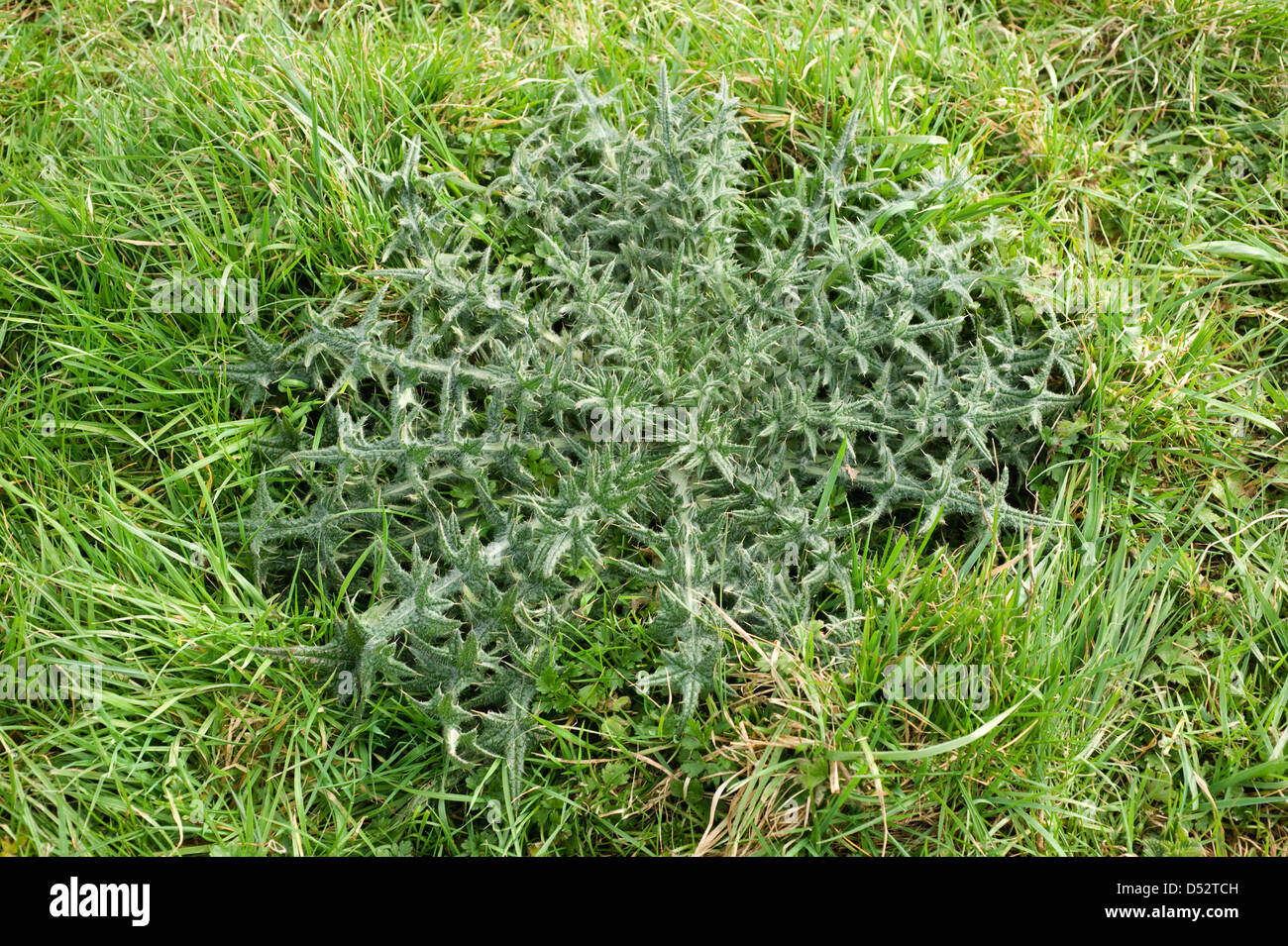 Strong spear thistle, Cirsium vulgare, leaf rosette in grass pastureland - Stock Image