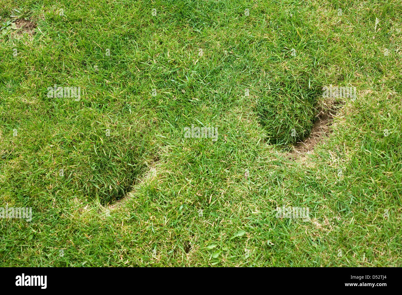 Horse hoof prints damage to a garden lawn - Stock Image