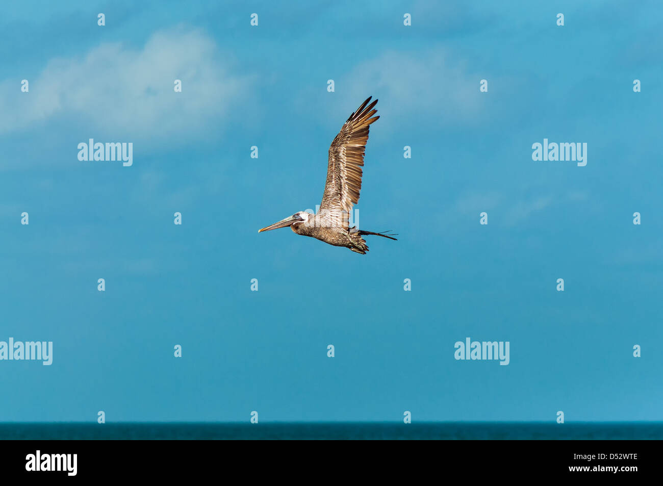 A pelican flying set against a beautiful blue sky - Stock Image