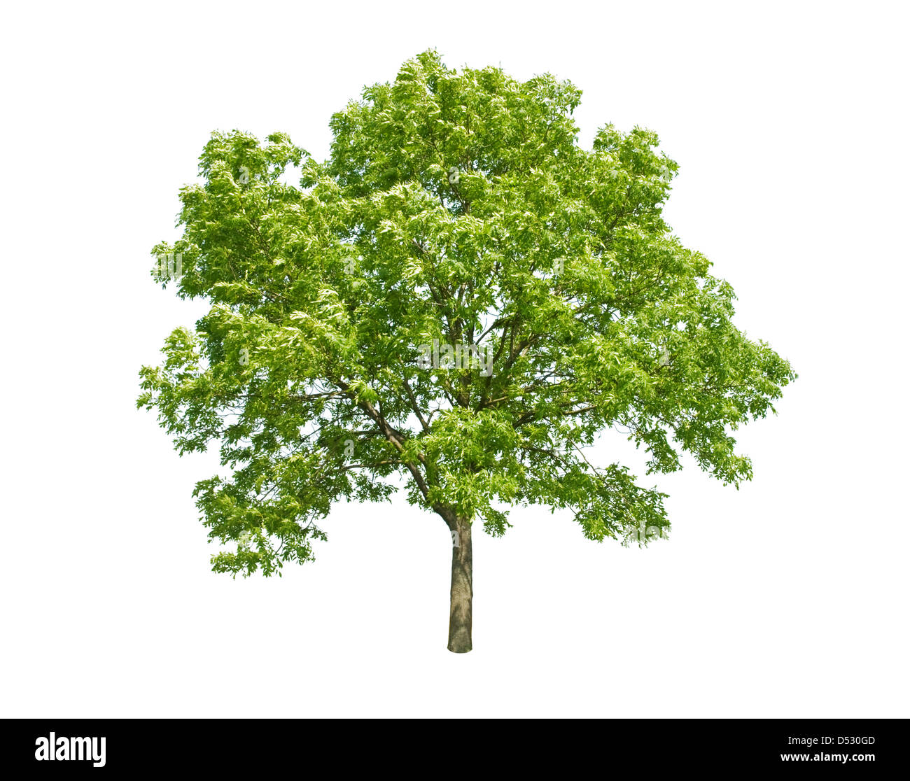 green tree isolated on white - Stock Image