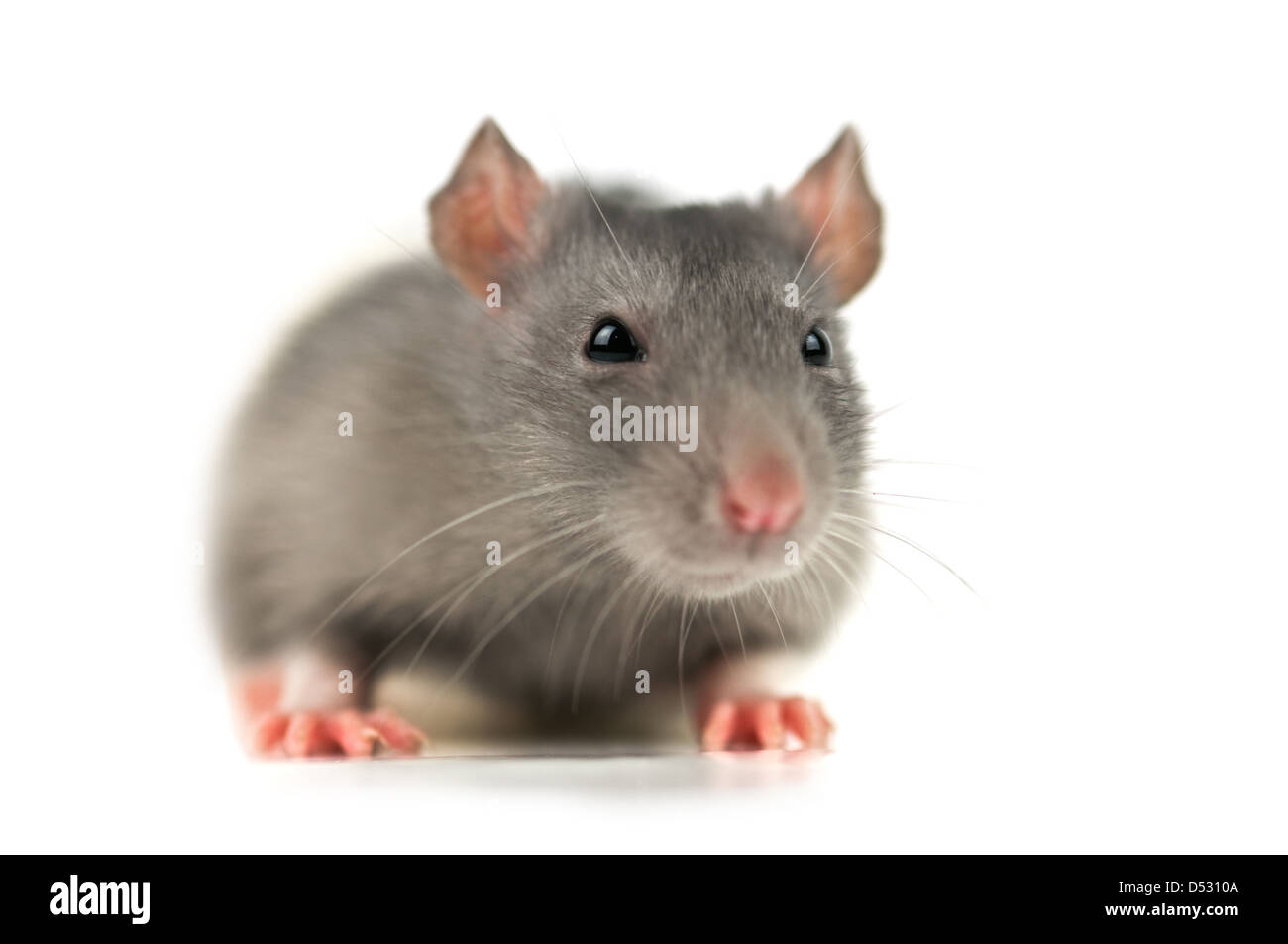 grey rat isolated on white - Stock Image