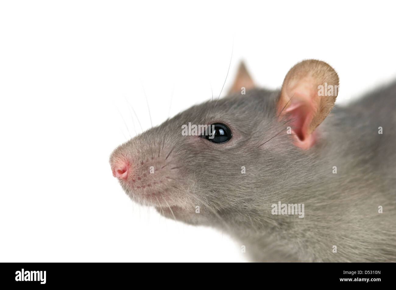 grey rat isolated on white - Stock Image