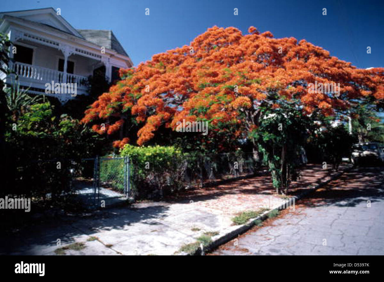 Poincianas in bloom on Southard Street: Key West, Florida - Stock Image