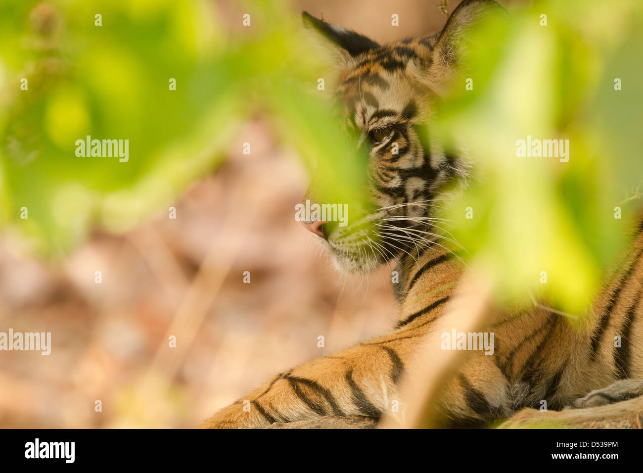 A Tiger Cub Hidden Within Foliage Stock Photo 54777932 Alamy