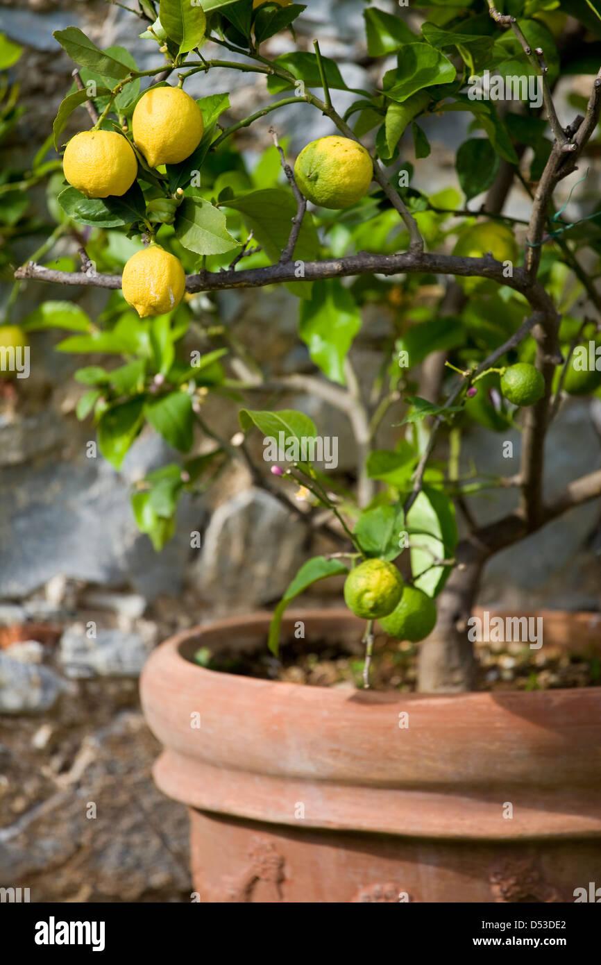 The Lemon Trees in Tuscany, Italy Stock Photo