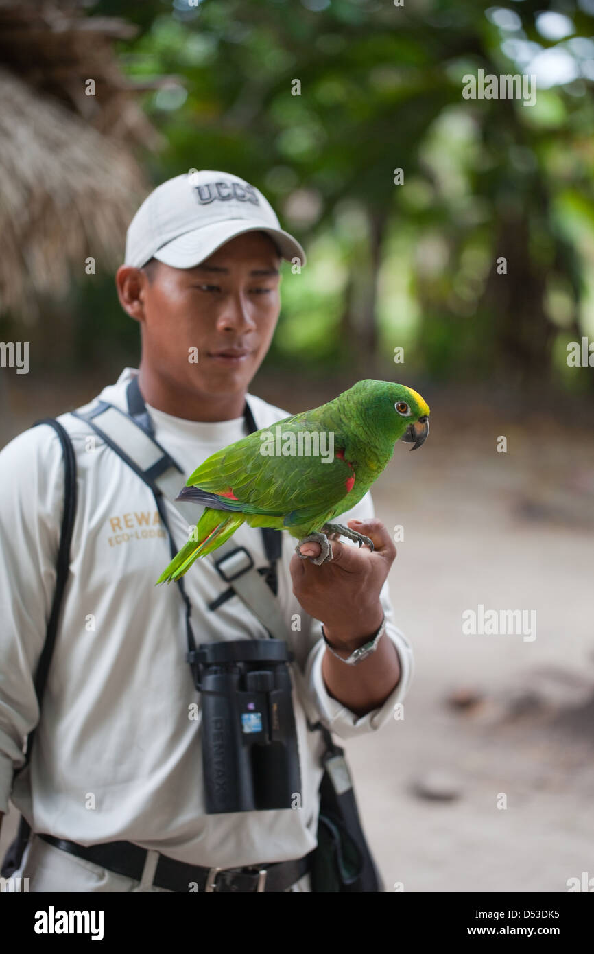Yellow-crowned Amazon Parrot Amazona ochrocephala on the hand of ecotourist guide.Rescued from local hunters who - Stock Image