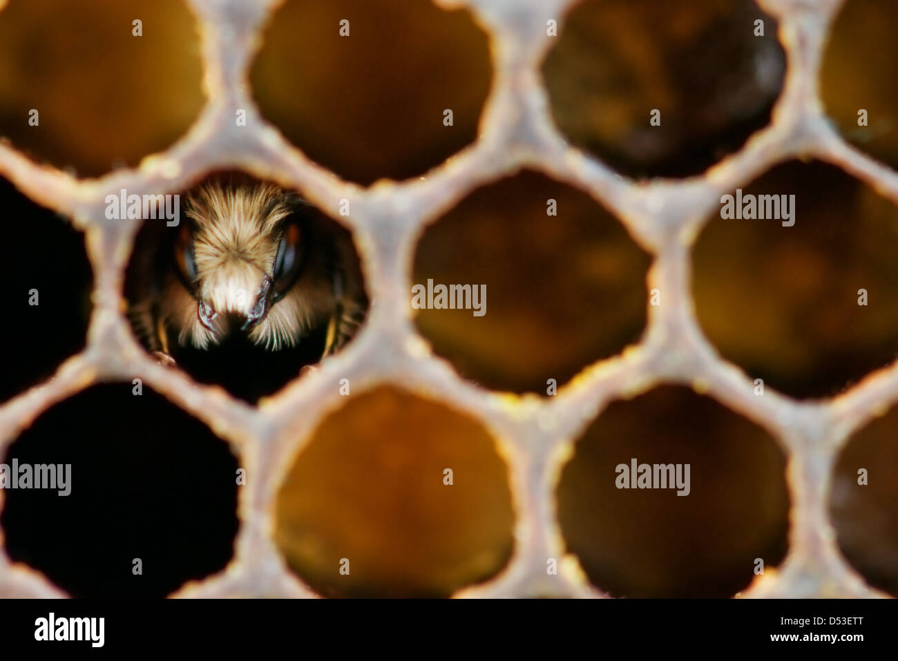 yong bee inside honeycomb closeup Stock Photo