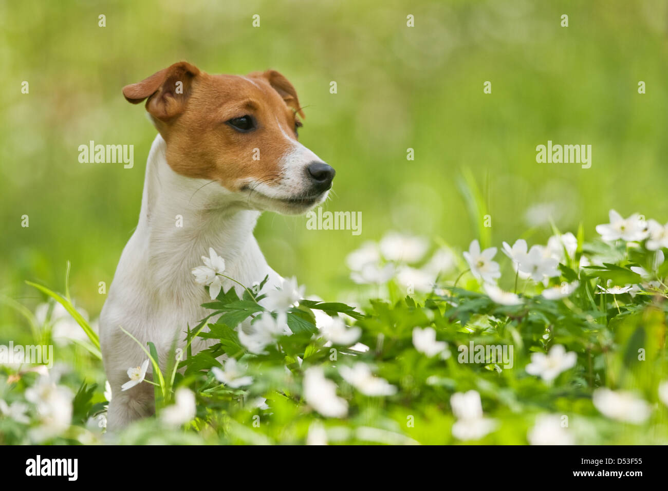 jack russel on spring forest - Stock Image