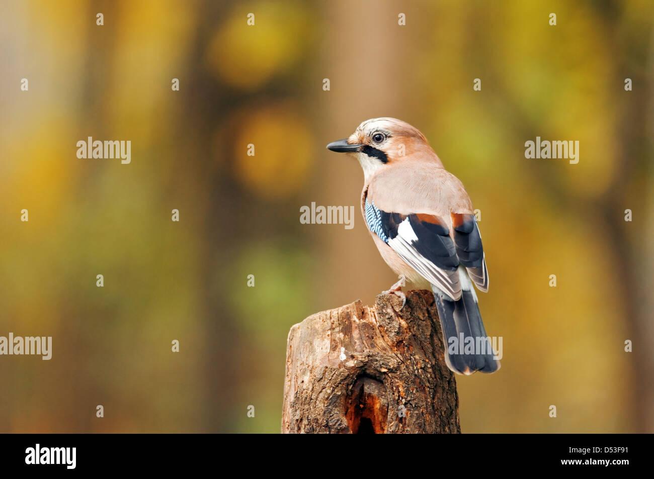 jay bird on twig close up - Stock Image