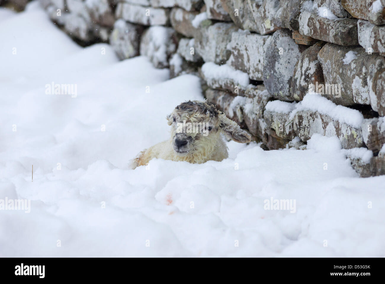 Teesdale, County Durham UK. 23rd March 2013 New born lamb coping with the heavy snowfall and blizzards that hit - Stock Image