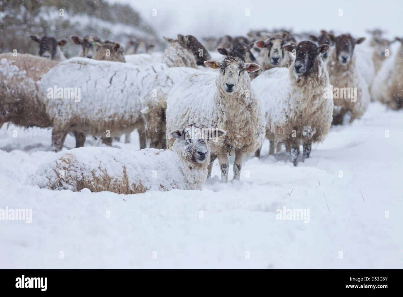 Teesdale, County Durham UK. 23rd March 2013 Sheep coping with the heavy snowfall and blizzards that hit the area - Stock Image
