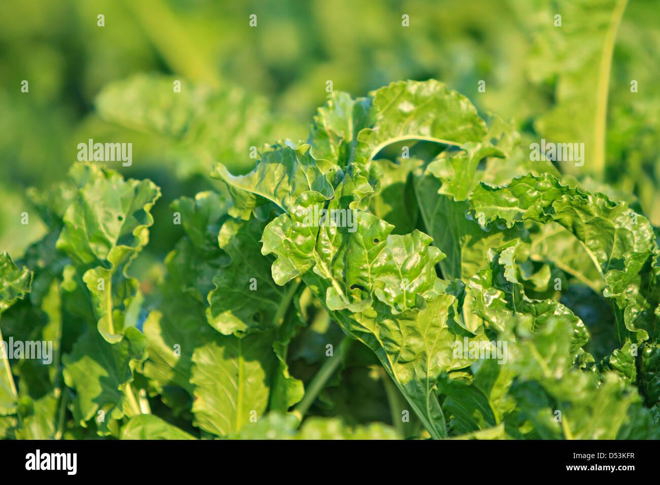Sugar beet, cultivated Beta vulgaris - Stock Image