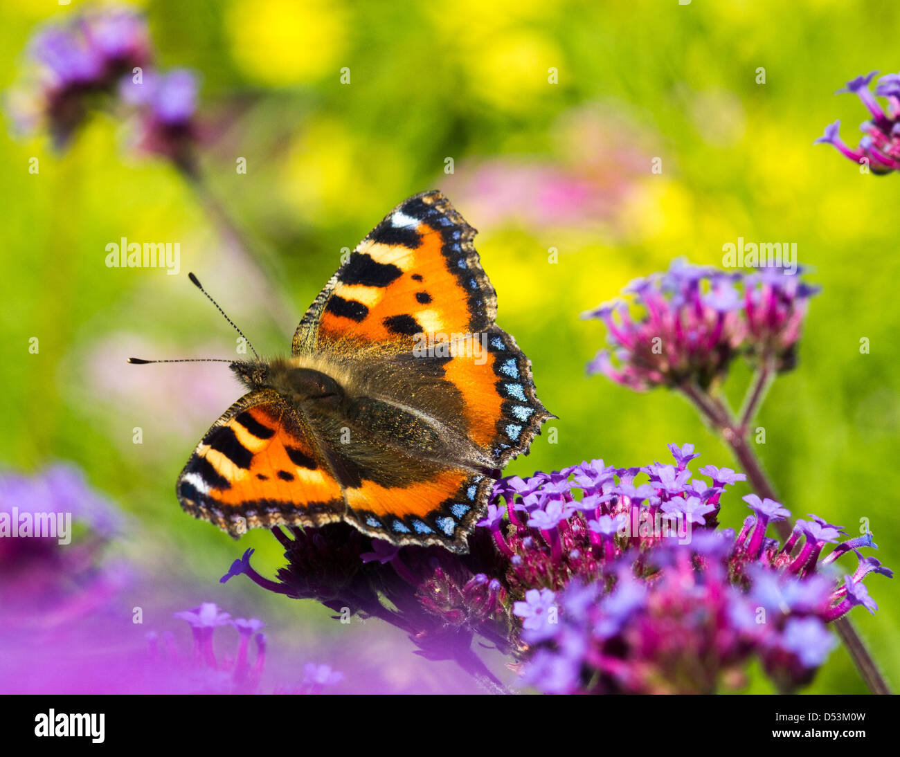 Small Tortoiseshell butterfly, Summer 2012 - Stock Image