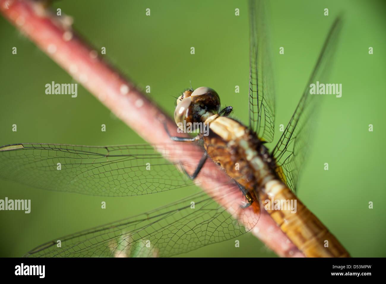 Details on a Dragonfly at Cienaga las Macanas nature reserve, Herrera province, Republic of Panama. Stock Photo