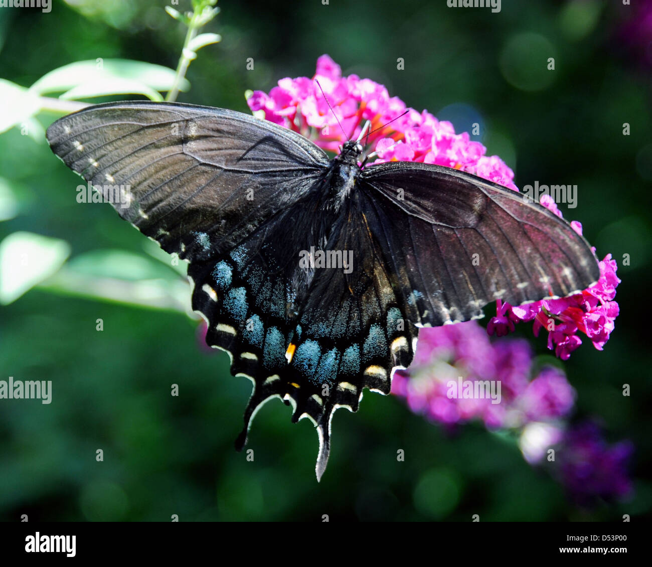 Black Swallowtail butterfly family Papilionidae Omithoptera birdwing butterflies, - Stock Image