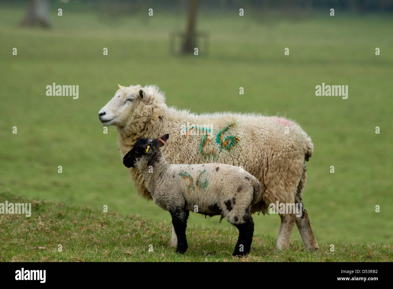 Ewe with her young lamb - Stock Image