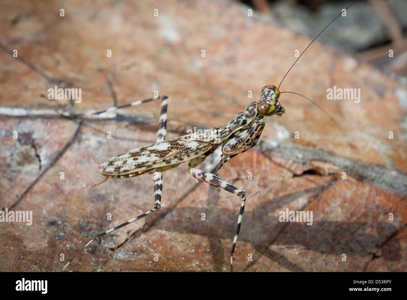 Mantis insect in the rainforest of Altos de Campana national park, Panama province, Republic of Panama. - Stock Image
