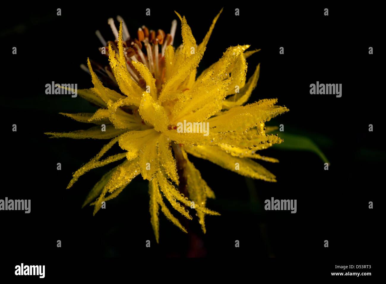 Yellow flower at Cienaga las Macanas nature reserve, Herrera province, Republic of Panama. Stock Photo