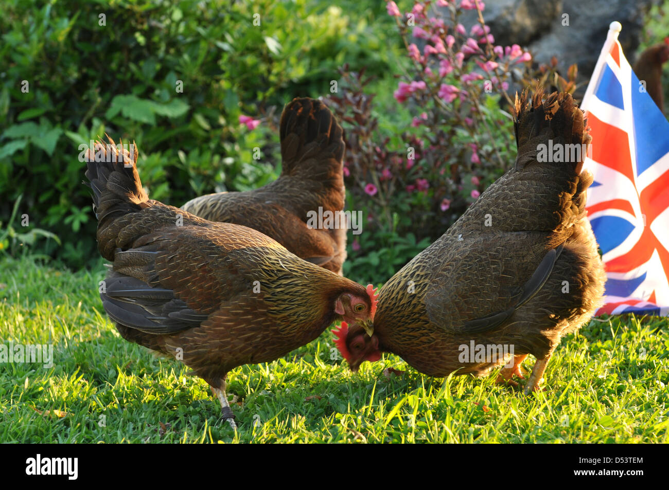 Three happy Welsummer hens in english country garden - Stock Image