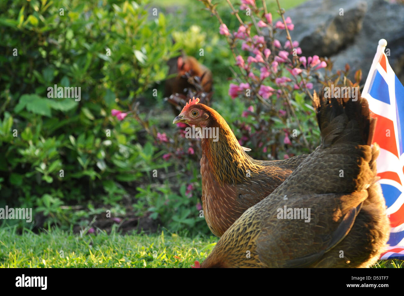 Welsummer hens in english country garden with GB flag - Stock Image