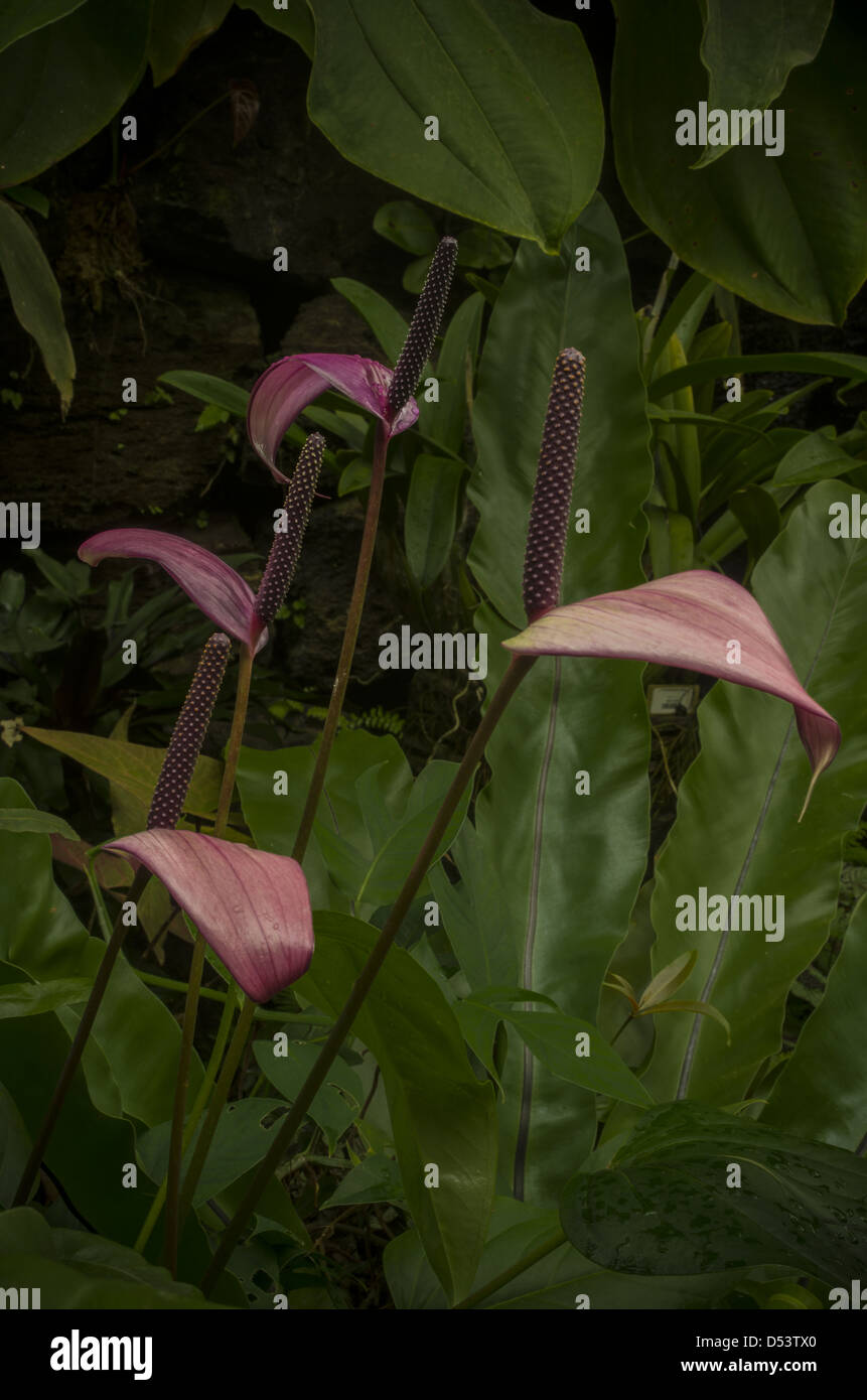 Purple anthurium flowers at Selby Gardens. - Stock Image