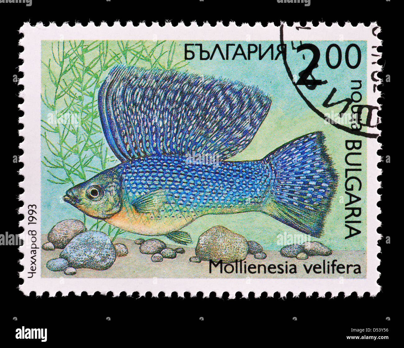Postage stamp from Bulgaria depicting a tropical Molly fish (Poecilia velifera) Stock Photo