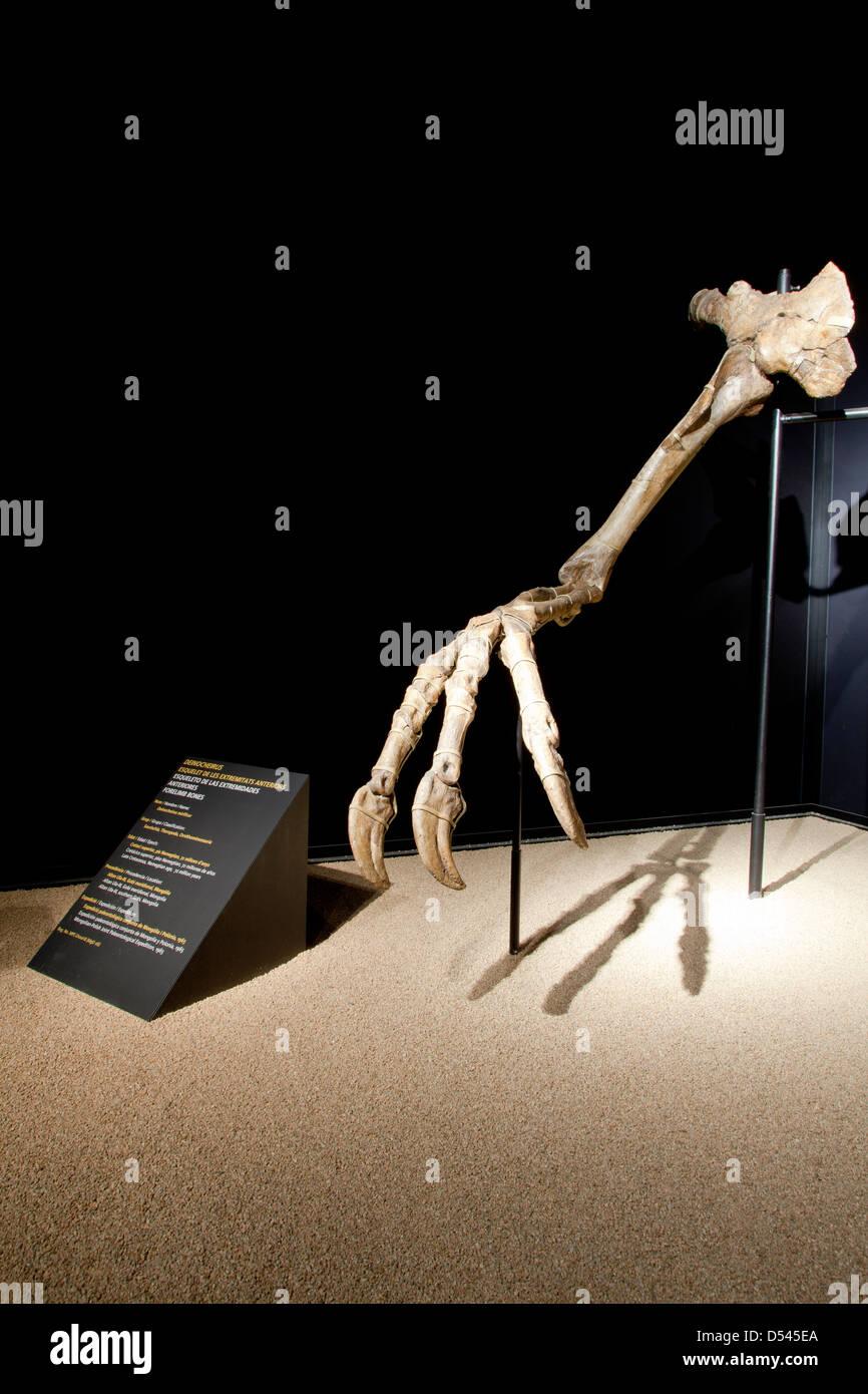 Forearms of Deinocheirus, Exposition of Dinosaurs from Gobi desert in Mongolia. Cosmocaixa museum, Barcelona, Spain - Stock Image