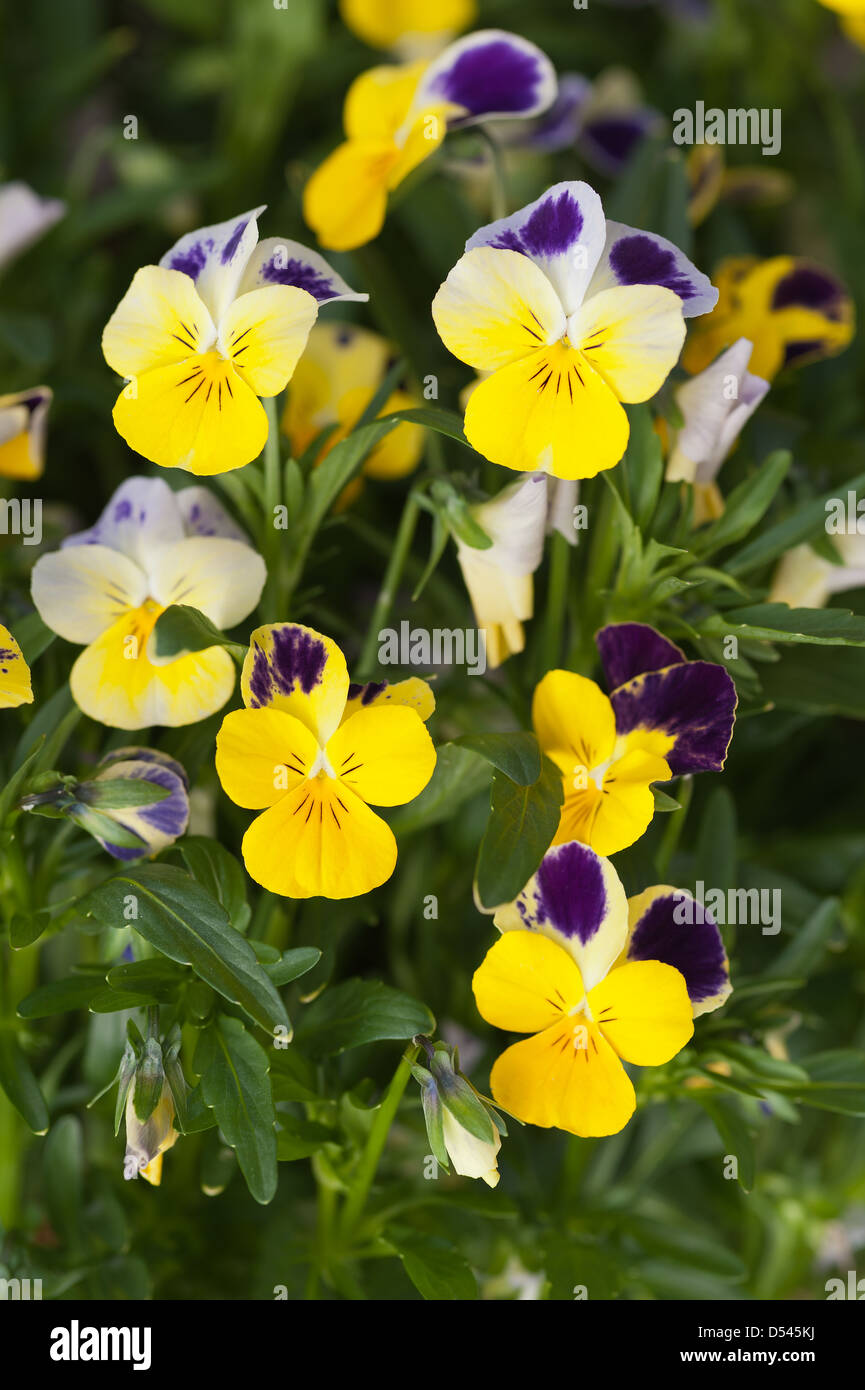 Bright yellow purple and white variated pansy flower Stock Photo