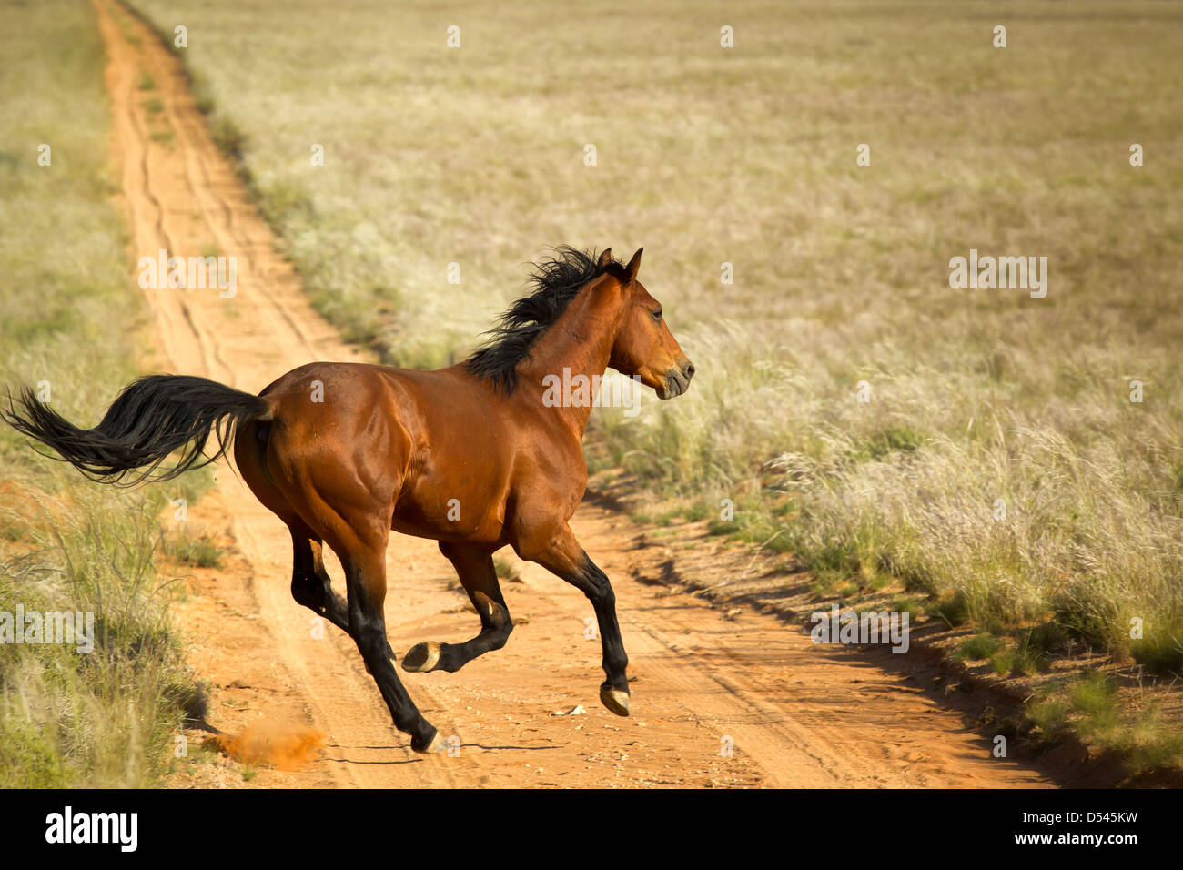 Namibian feral horse crossing local road at high speed near Aus. - Stock Image