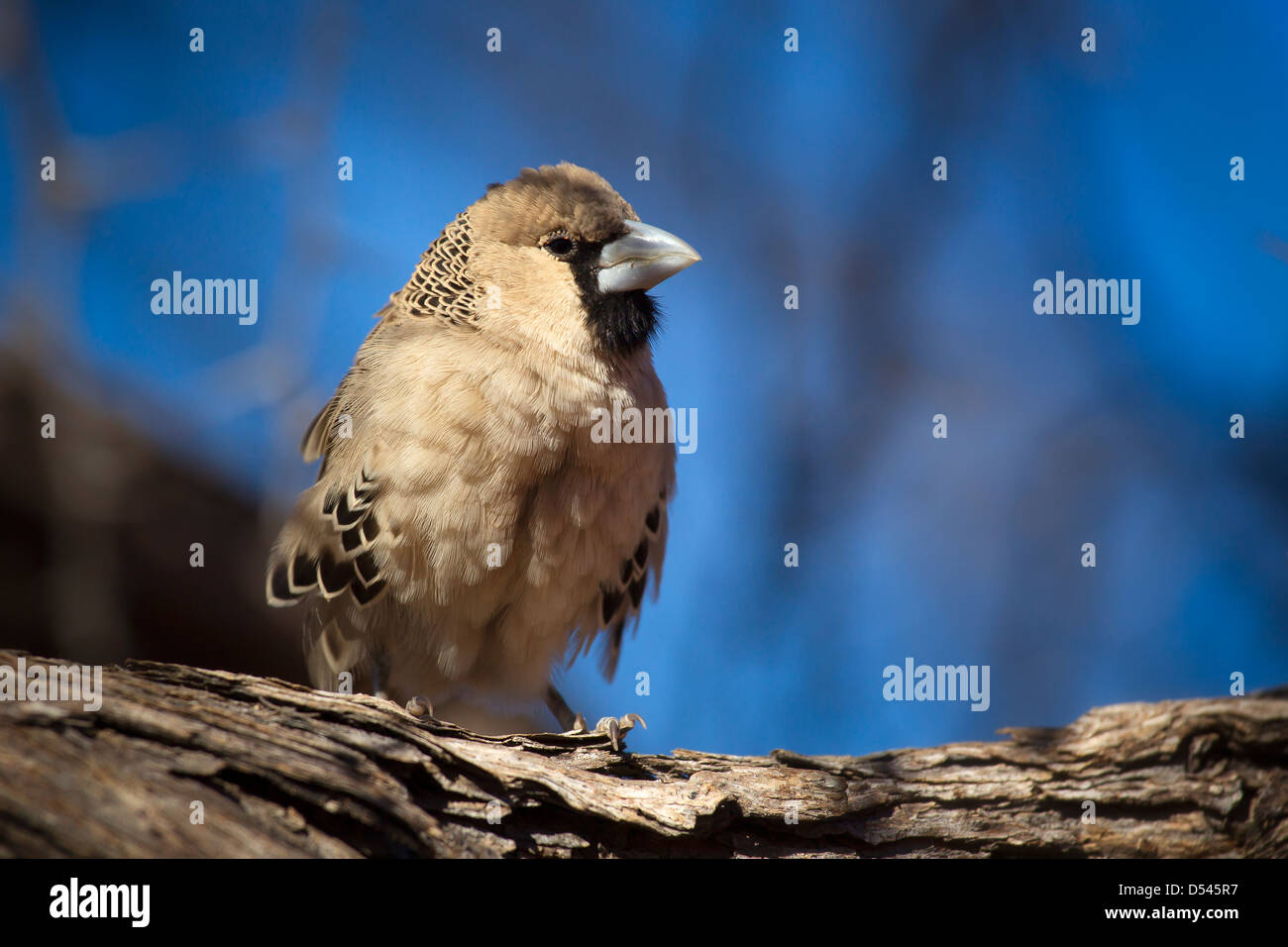 Portrait of a sociable weaver bird in a contemplative moment against a blue blurred background. - Stock Image