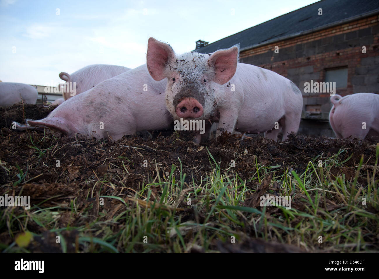 Brandenburg / Havel, Germany, pigs in a meadow - Stock Image