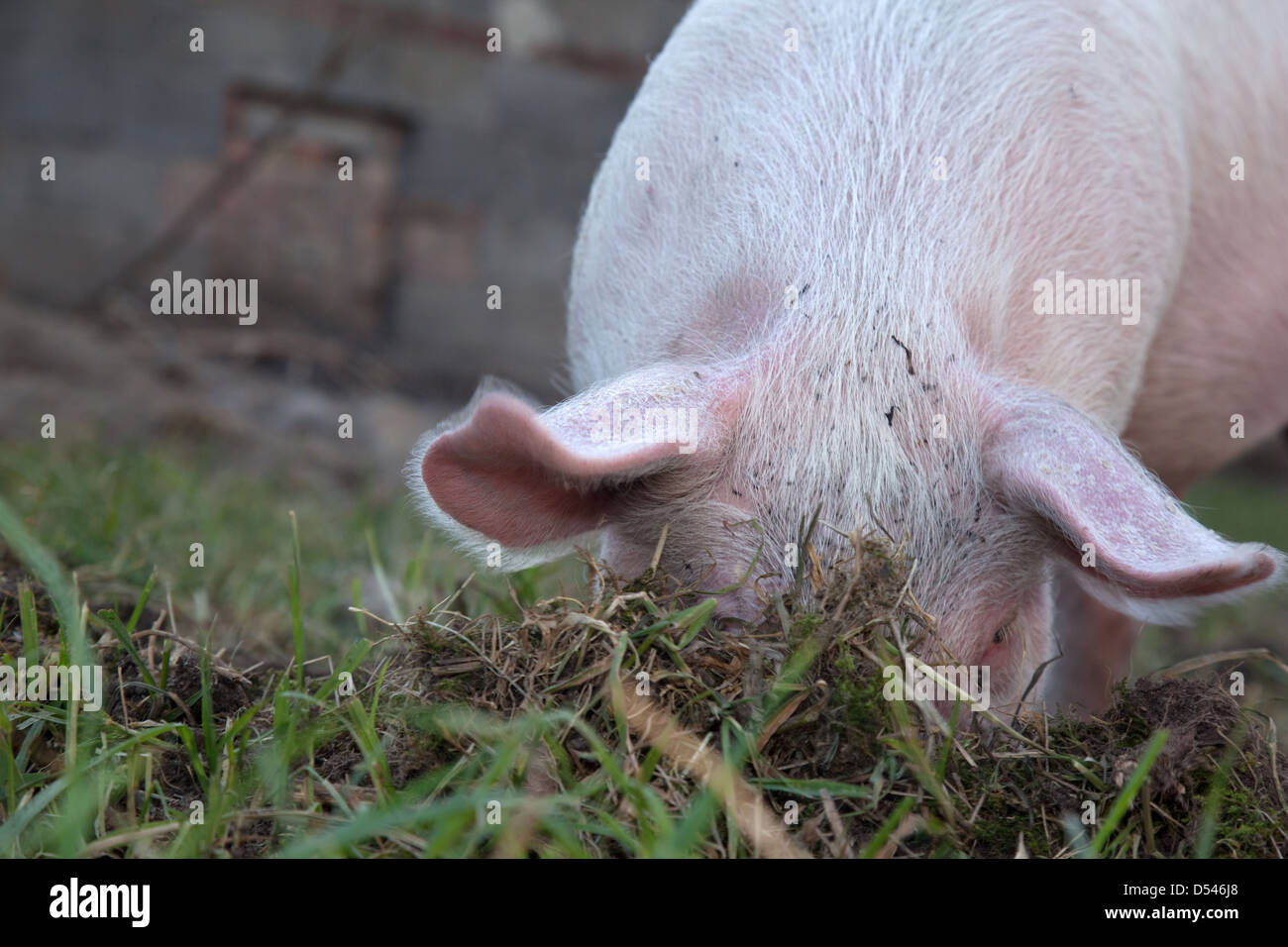Brandenburg / Havel, Germany, a pig digging in the earth - Stock Image