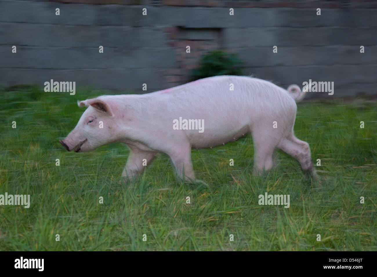 Brandenburg / Havel, Germany, a pig running about the yard - Stock Image