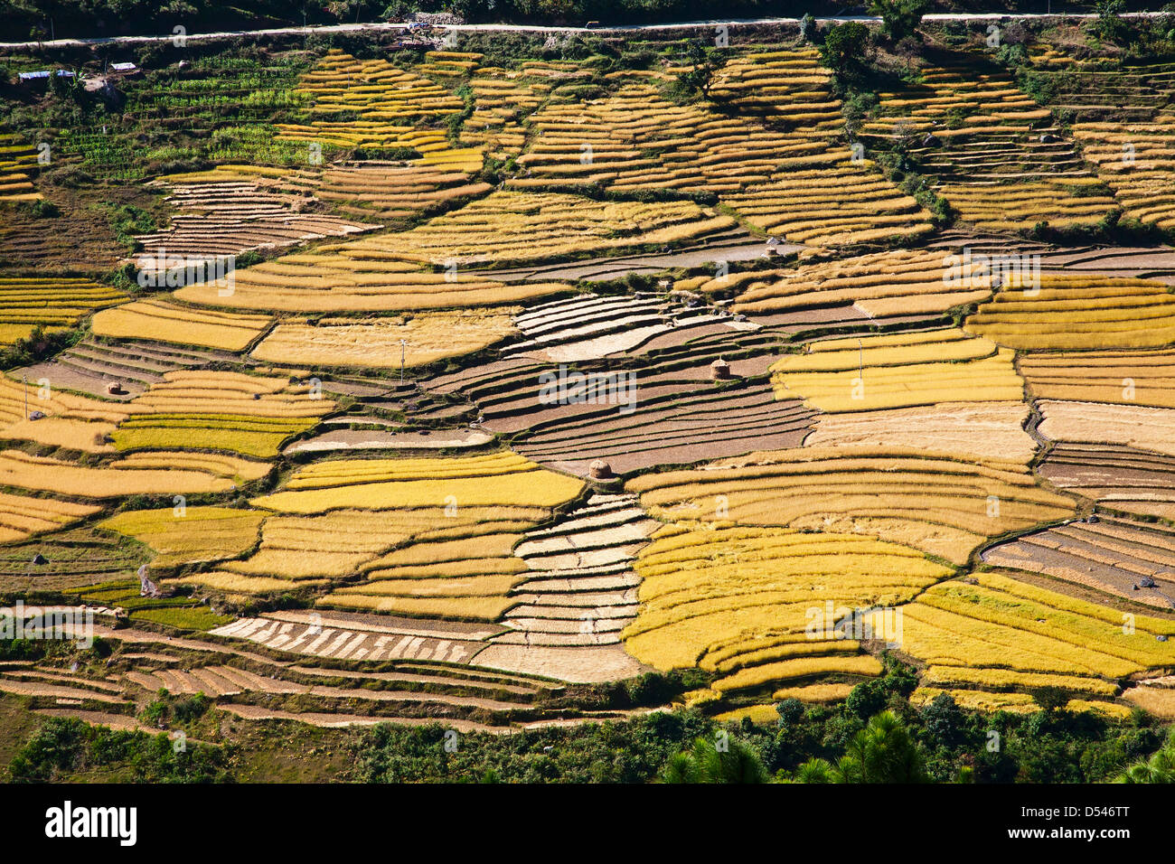 Rice fields cover the upper Punakha Valley. Bhutan. - Stock Image