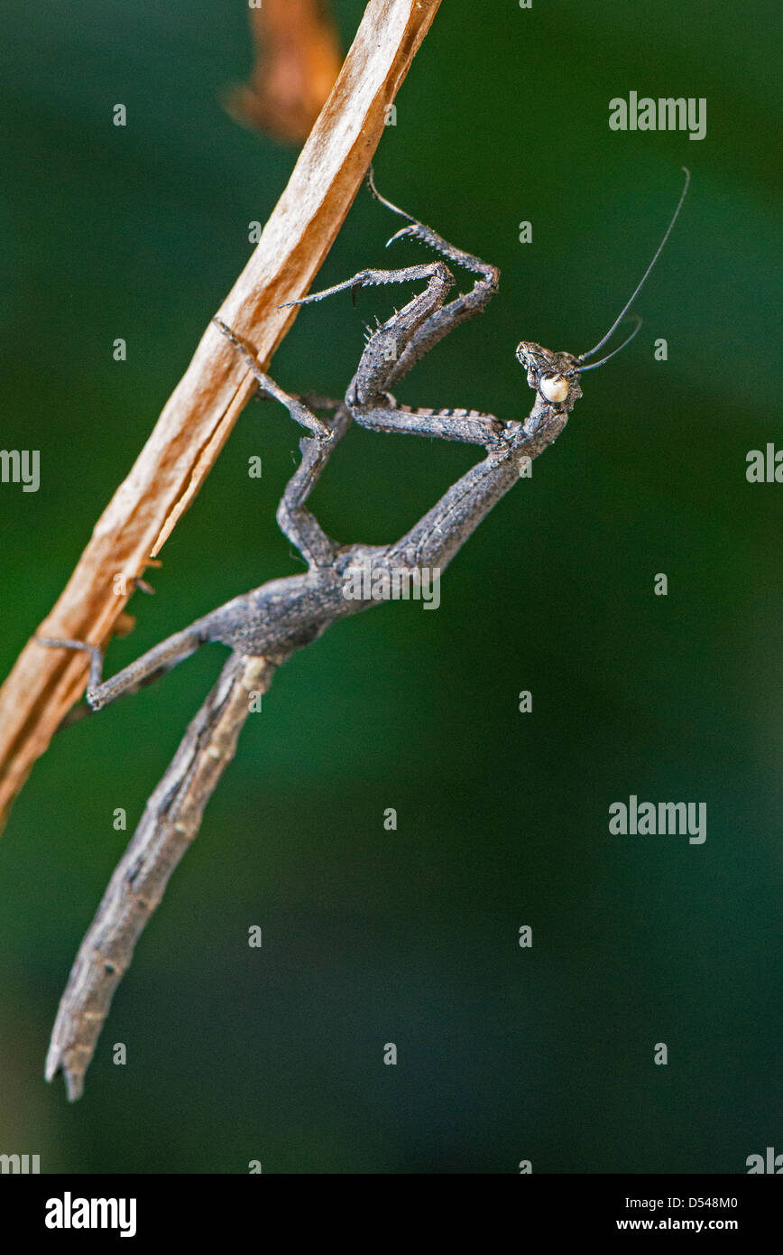 An African twig mantis displaying its form of camouflage Stock Photo