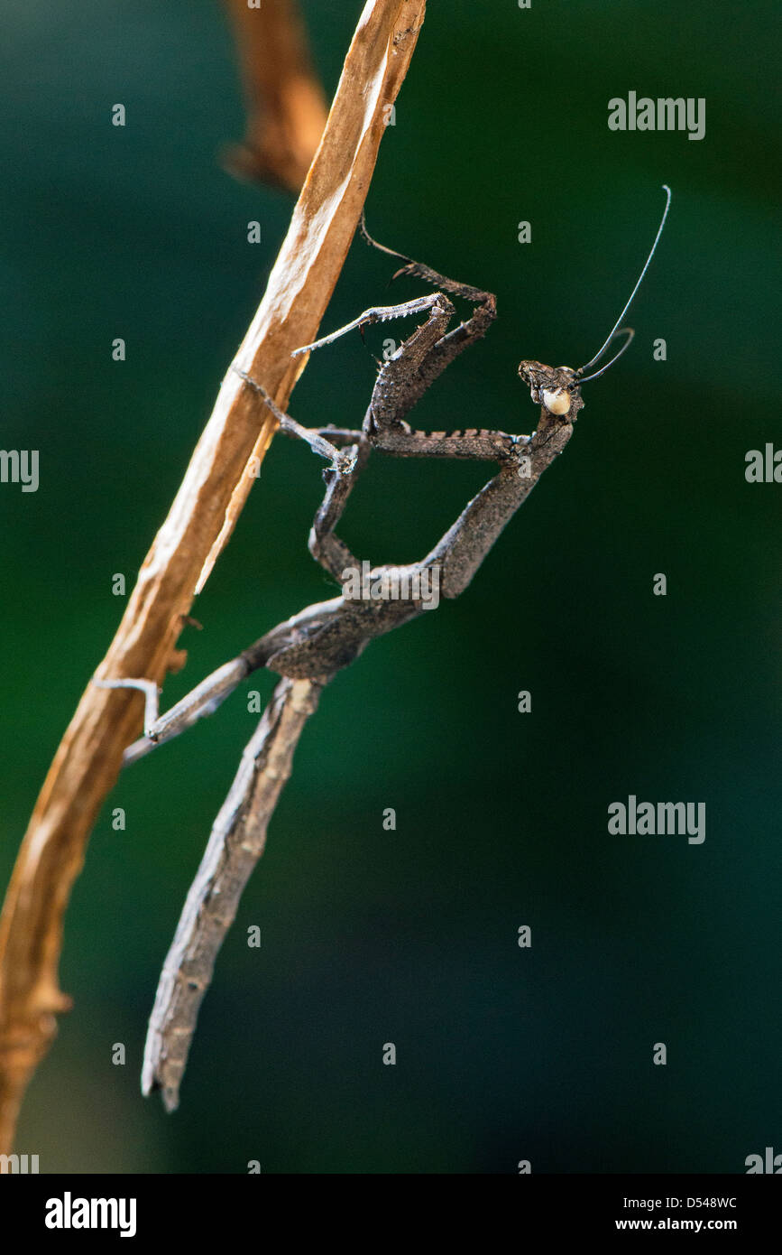 An African twig mantis displaying its form of camouflage - Stock Image