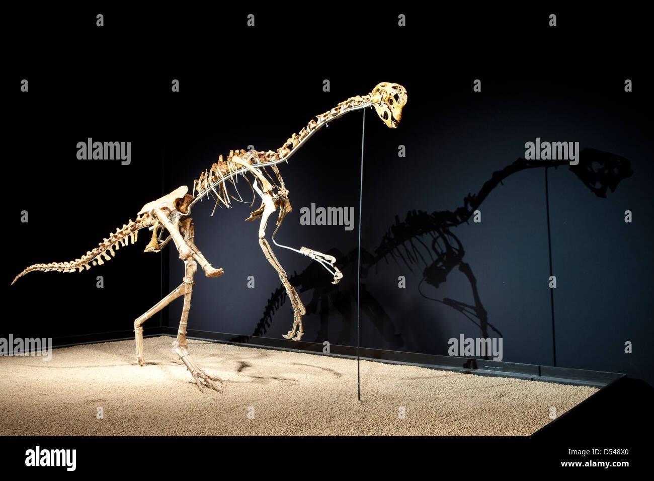 Oviraptor, Exposition of Dinosaurs from Gobi desert in Mongolia. Cosmocaixa museum, Barcelona, Spain Stock Photo