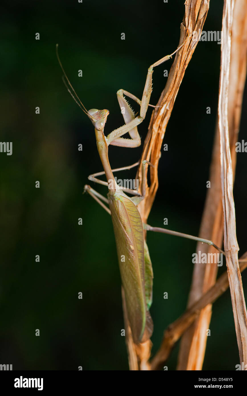 A Congo Green Mantis - Stock Image
