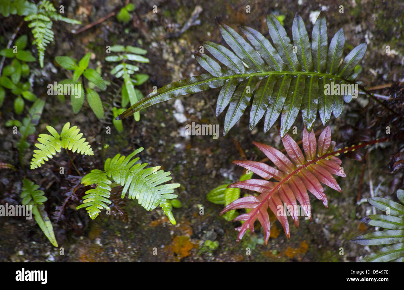 A variety of small fern species growing from a roadside embankment in Fraser's Hill Malaysia - Stock Image