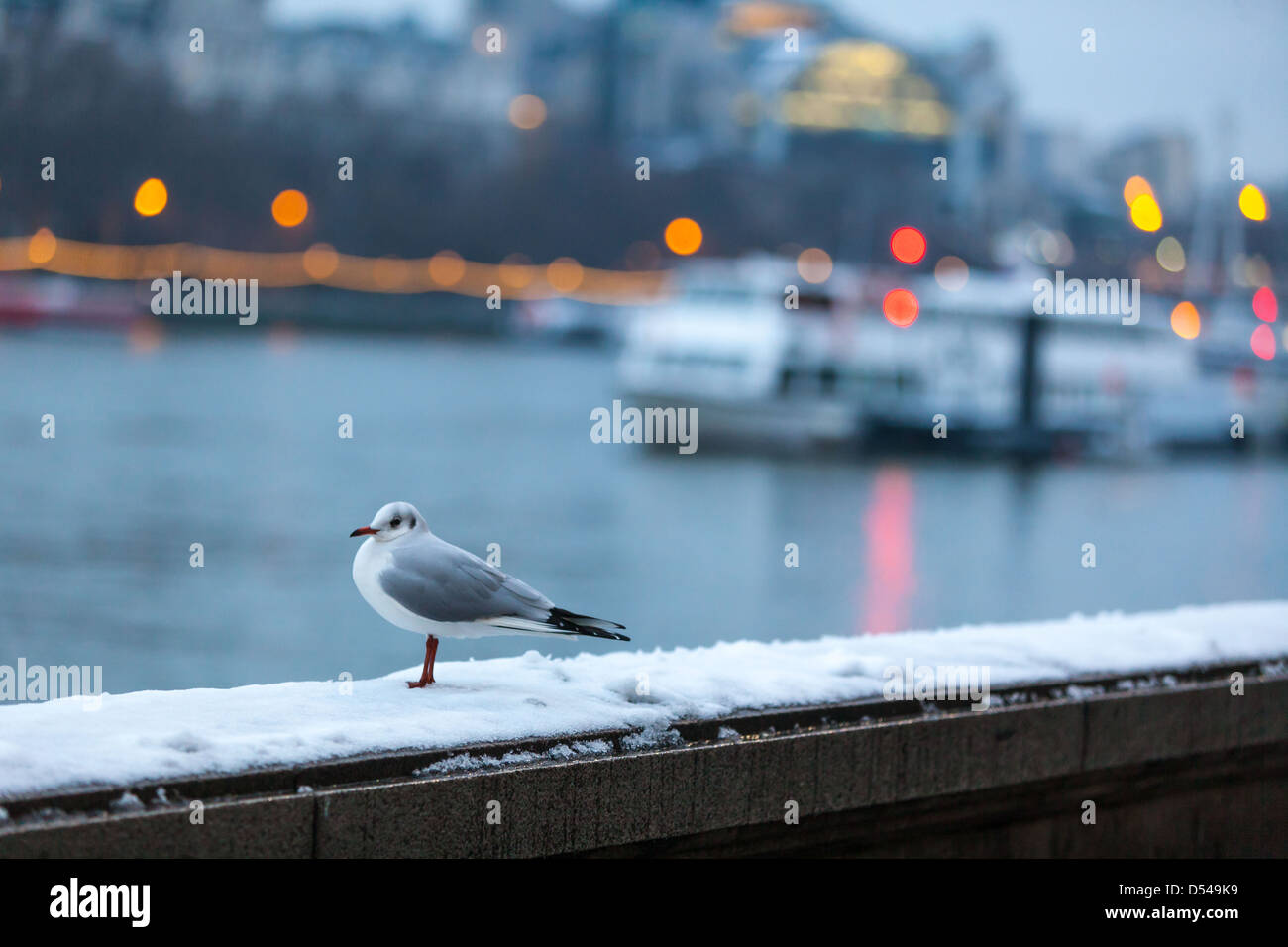 Common gull standing on a snowy surface on the South Bank of River Thames, London, England, UK. - Stock Image