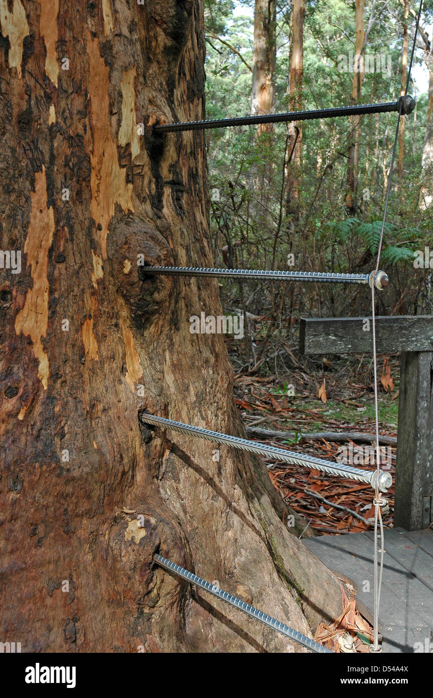 Pegged ladder made by forester George Reynolds to facilitate climbing The Gloucester Tree. - Stock Image
