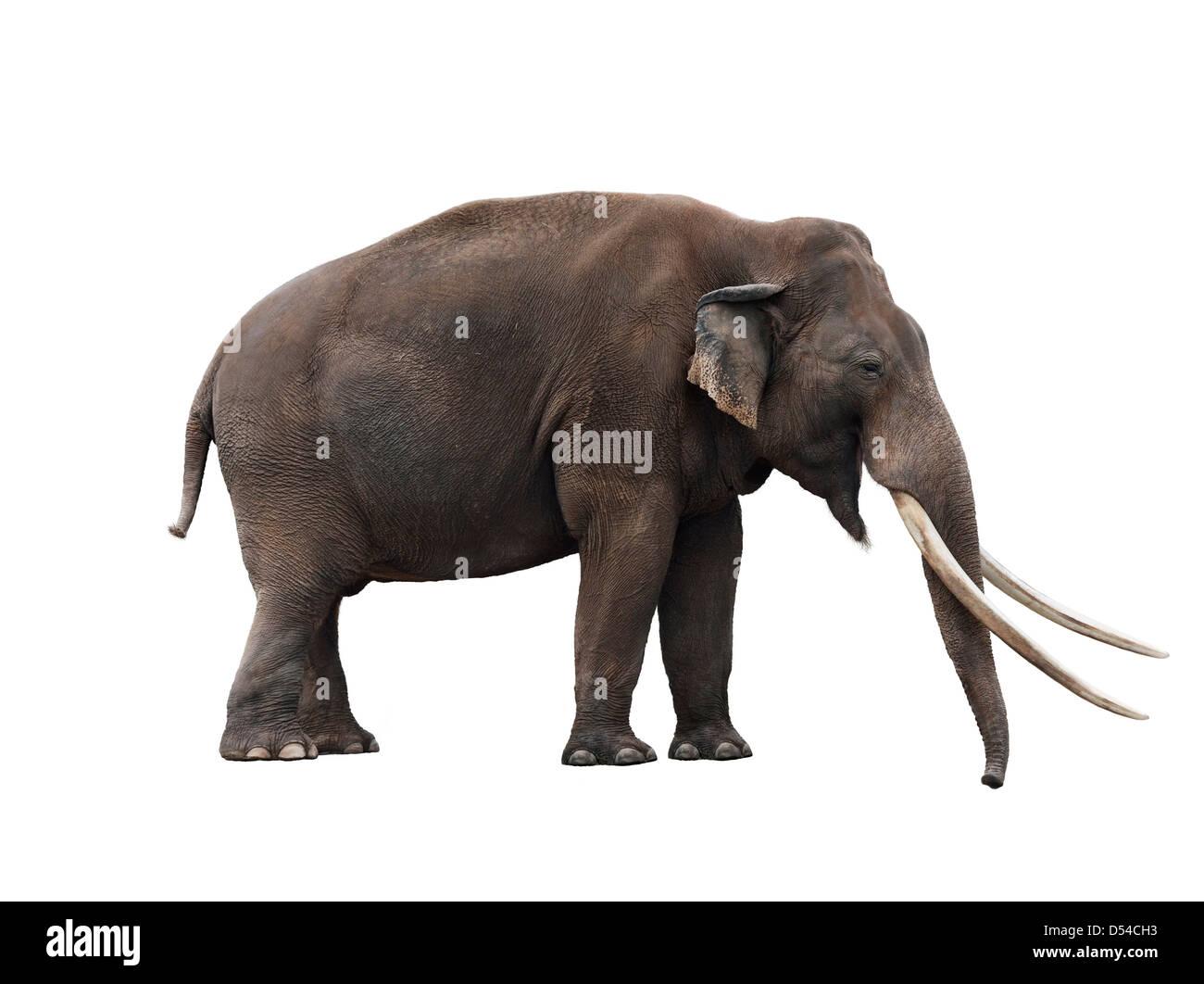 African Elephant On White Background - Stock Image